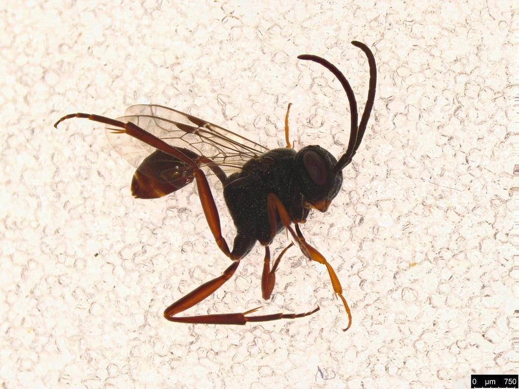 10 - Evaniidae sp.