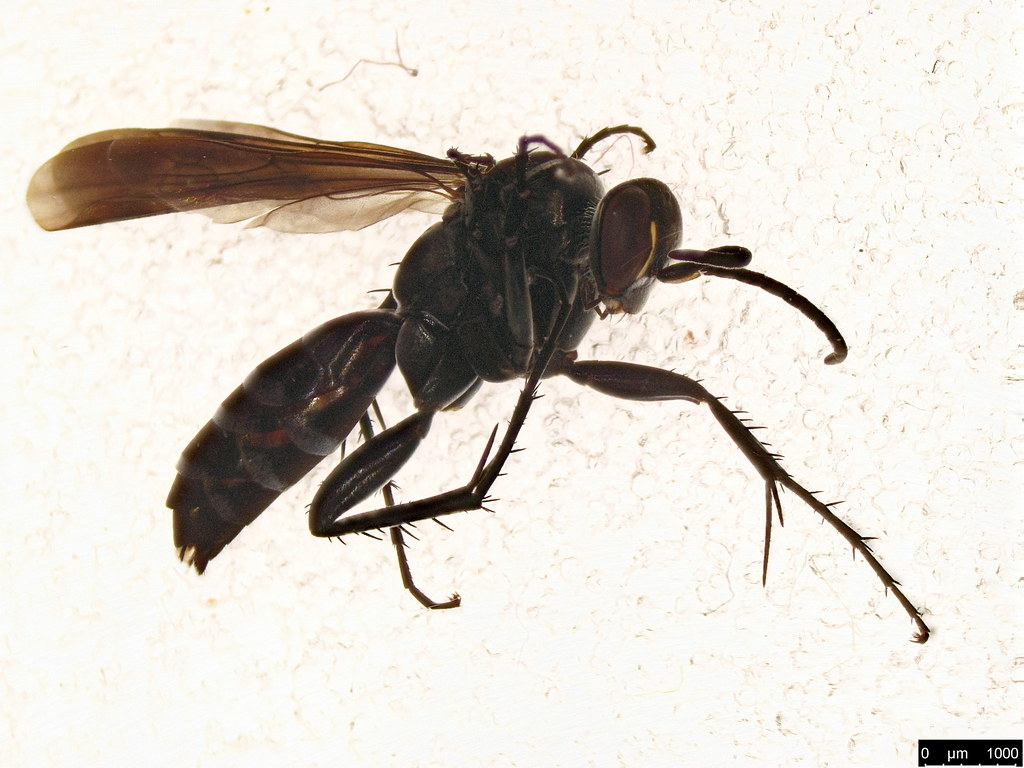 13 - Pompilidae sp.