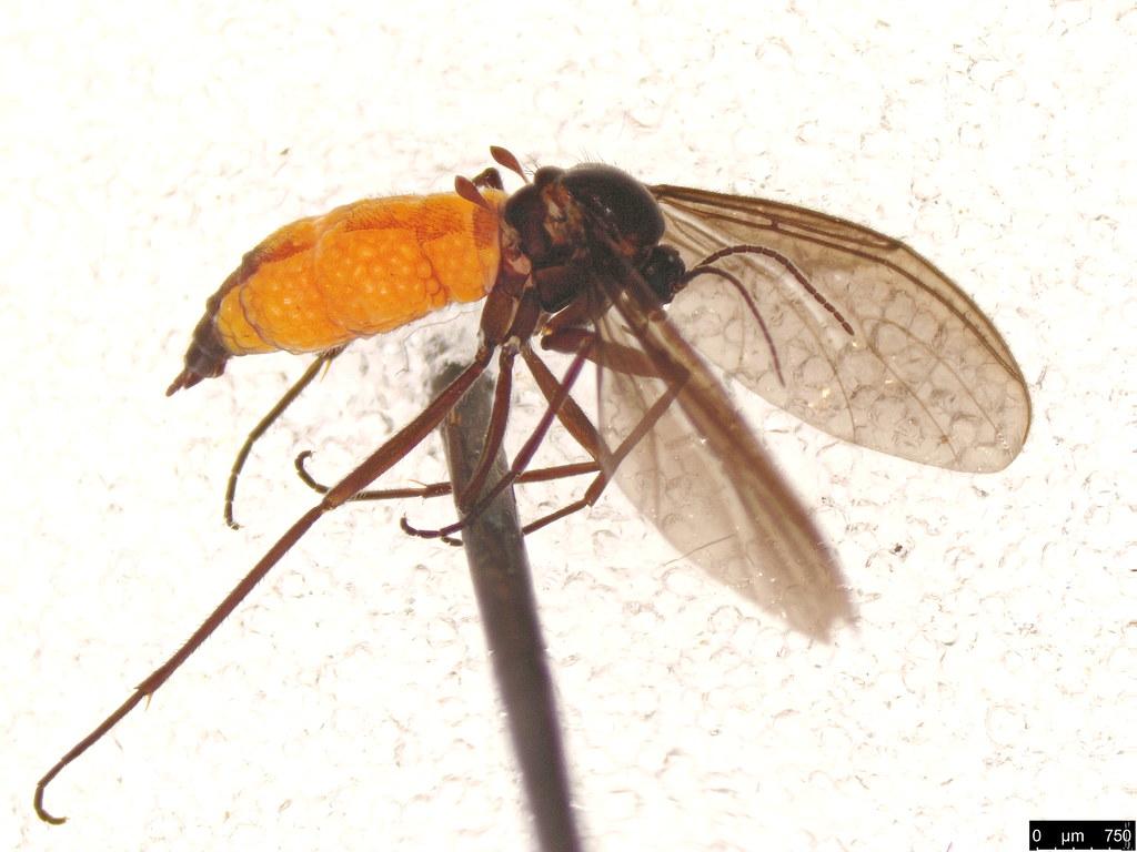 19 - Sciaridae sp.
