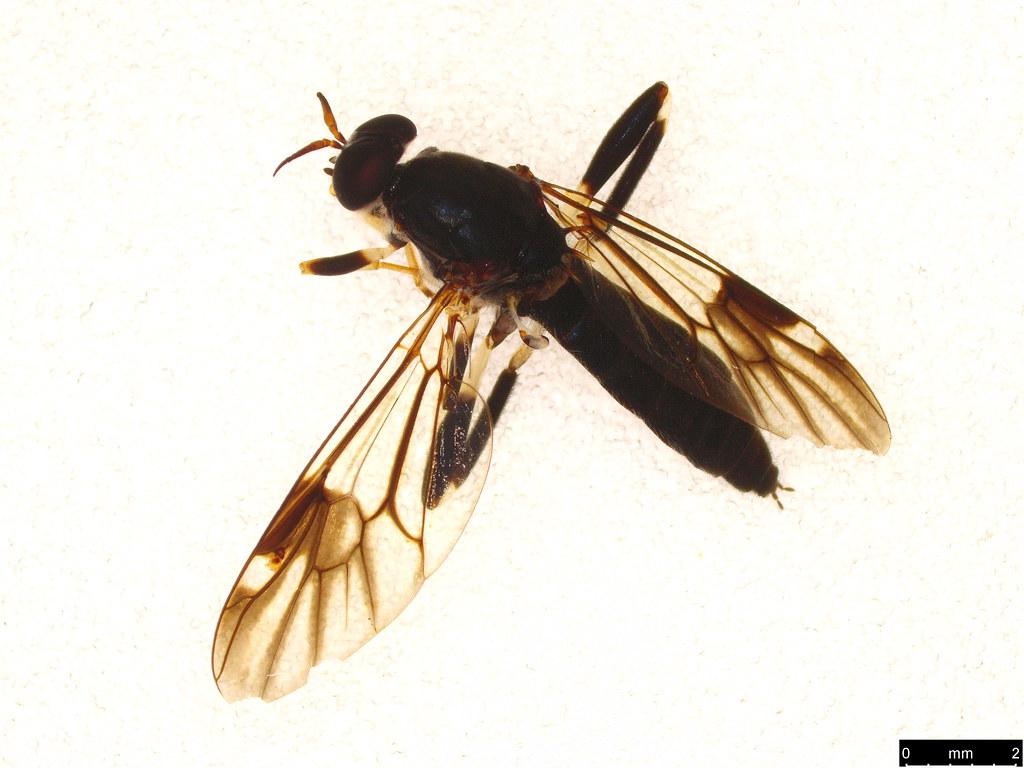29 - Exaireta spinigera (Wiedemann, 1830)
