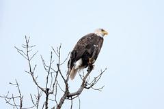 Bald Eagle 2020 02