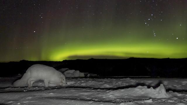 M_Dumond_Arctic_Fox_under_the_Lights-6734