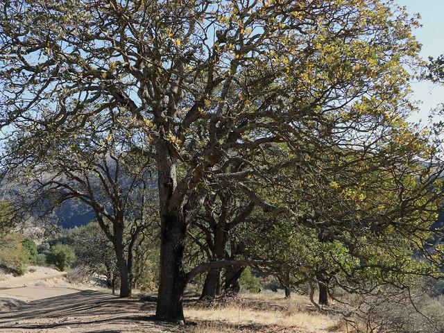 Blue oaks 3489