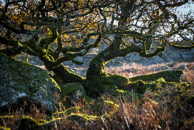 Gnarled and mossy tree_NK3-1542