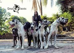 Perros de raza Gran Danes arlequin con Liz Macias