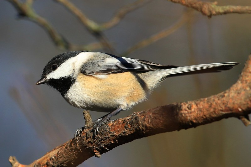 black-capped chickadee at Lake Meyer Park IA 653A6515