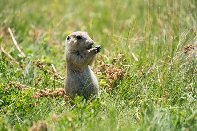 Adorable prairie dog in the Prairie Dog Town in Devils Tower National Monument, eating with his hands, standing up