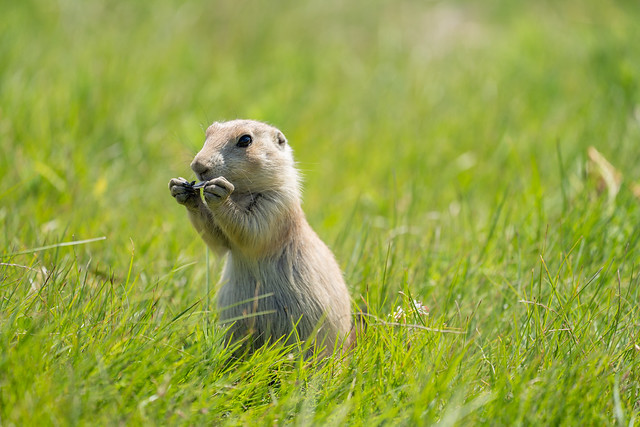 Cute prairie dog in the prairie dog town in Devils Tower National Monument, eating sunflower seeds