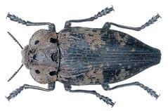 Capnodis miliaris (Klug, 1829)
