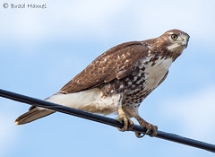A red tail clamped on in the wind.