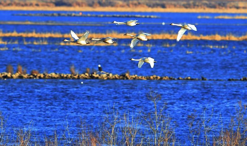 tundra swans near Brownsville MN 653A6765