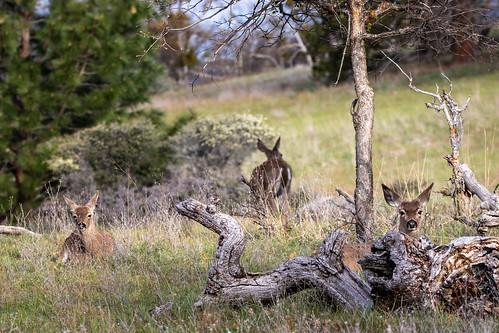 Cascade Mountain Deer