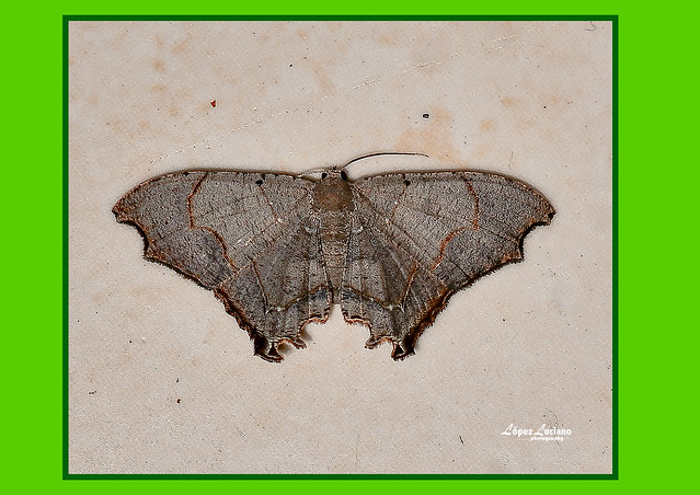 Macro de polillas de República Dominicana.:Lepidoptero:Uraniidae:Trotorhombia Metachromata.(Walker 1861.)