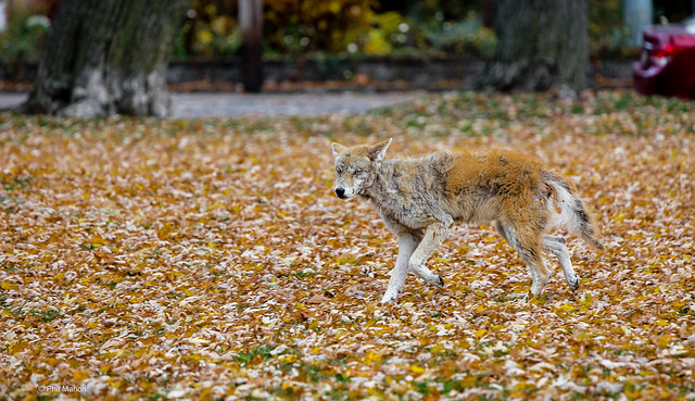 Coyote with mange- Woodbine Beach, Toronto