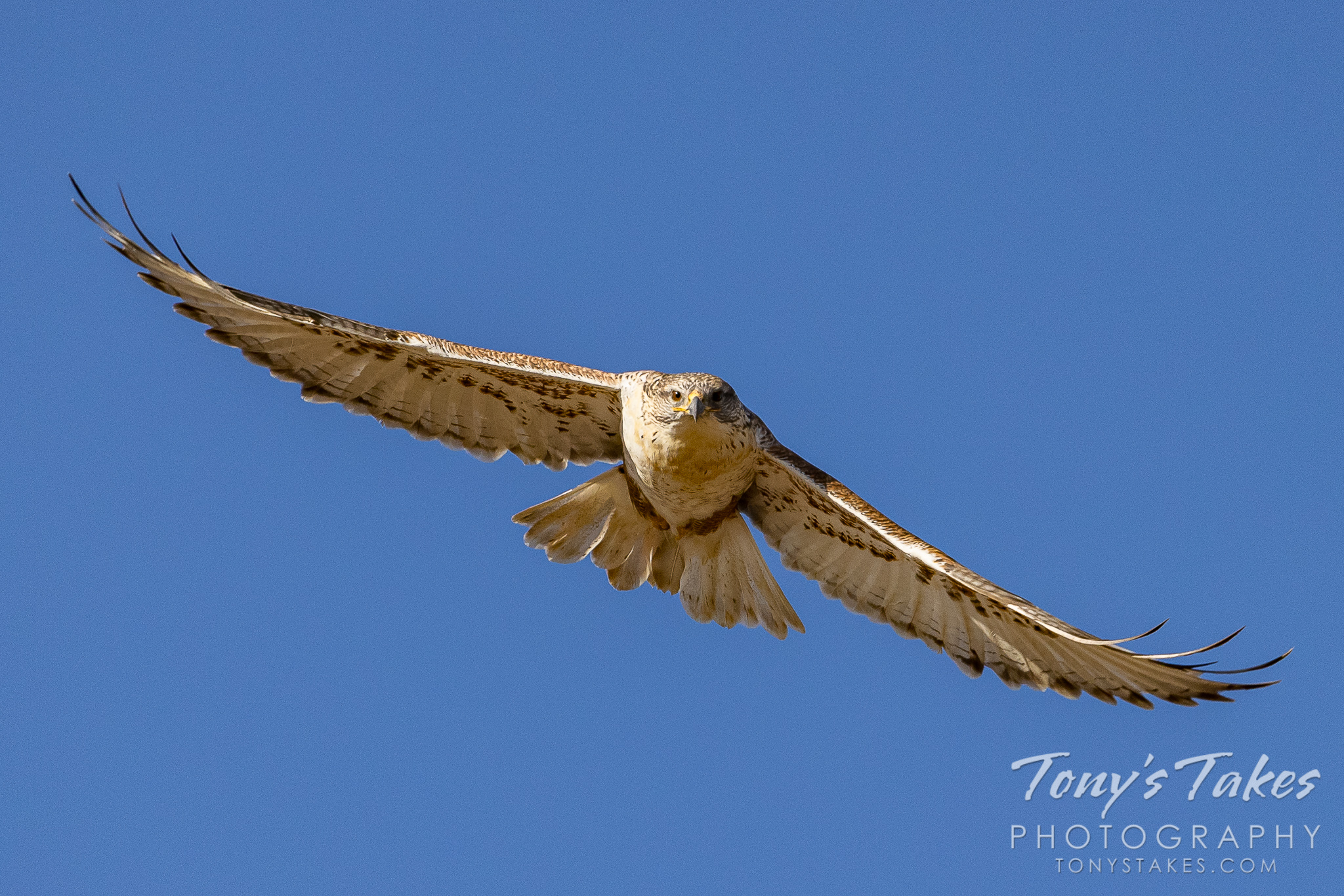 Ferruginous hawk focused and head on