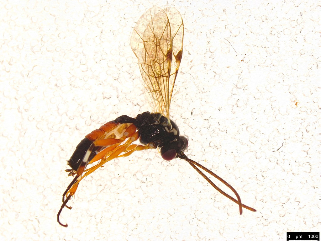 4 - Diplazon laetatorius (Fabricius, 1781)