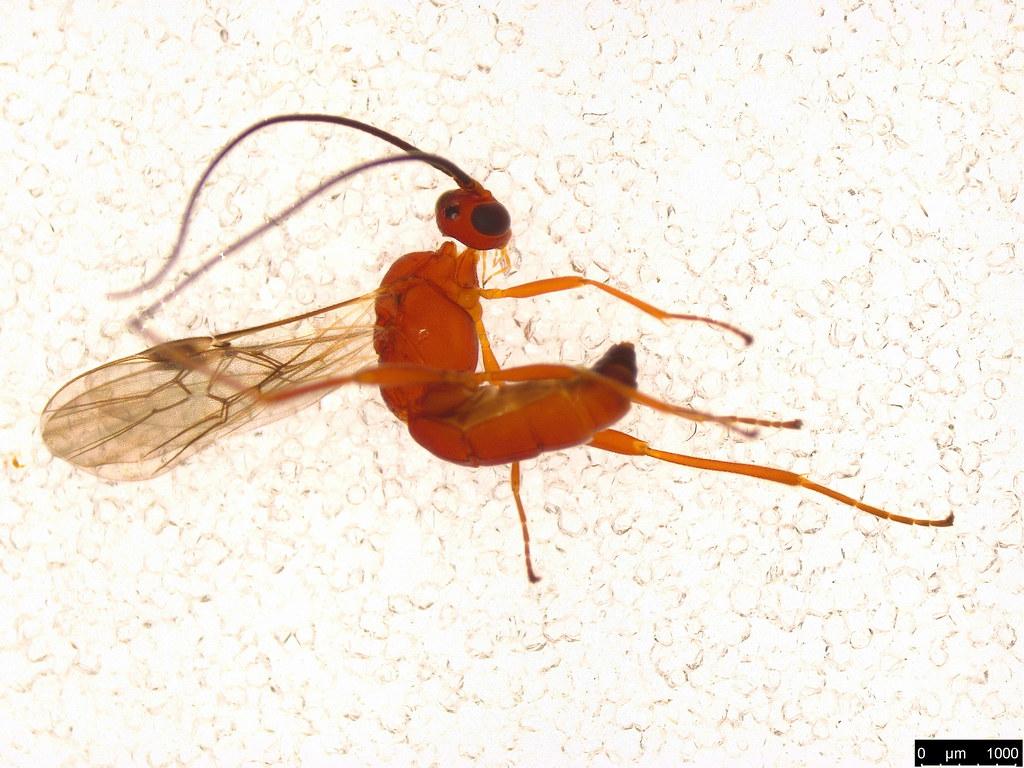 5 - Braconidae sp.