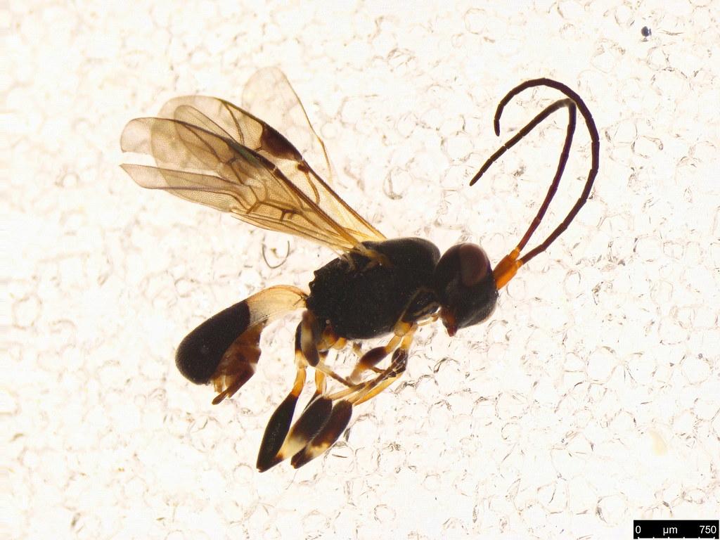 6a - Chelonus sp.