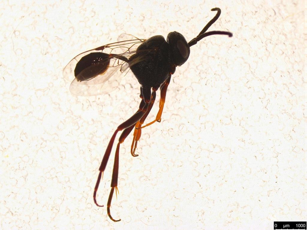 7 - Evaniidae sp.