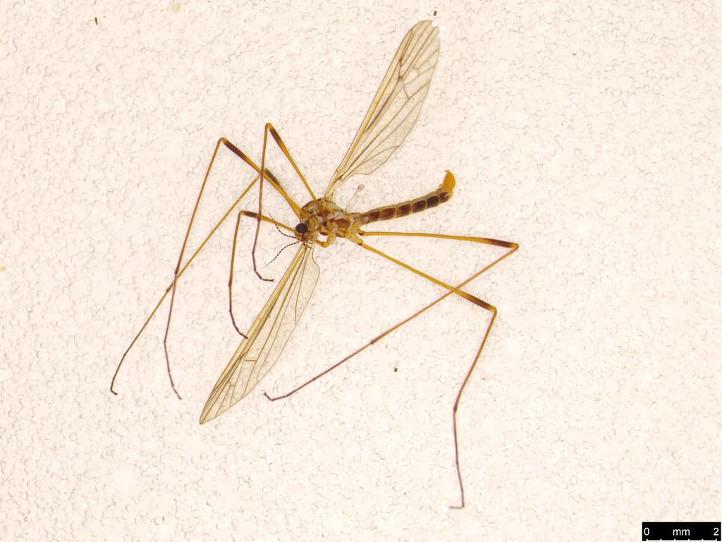 17a - Tipuloidea sp.