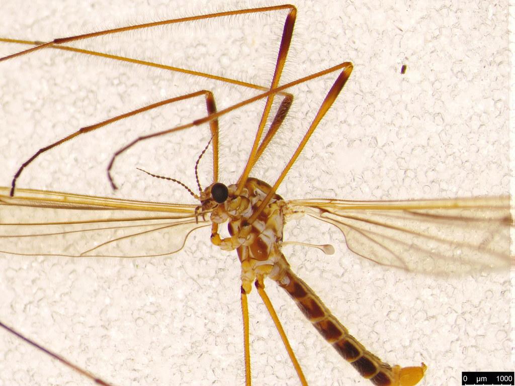 17b - Tipuloidea sp.