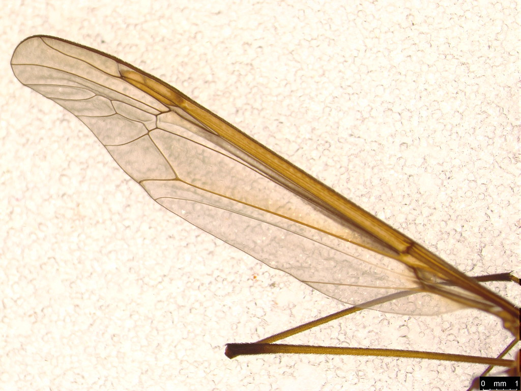 18b - Tipuloidea sp.