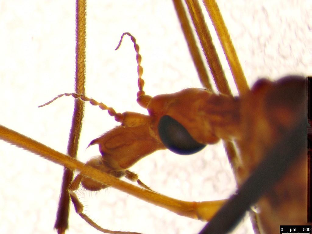 18c - Tipuloidea sp.