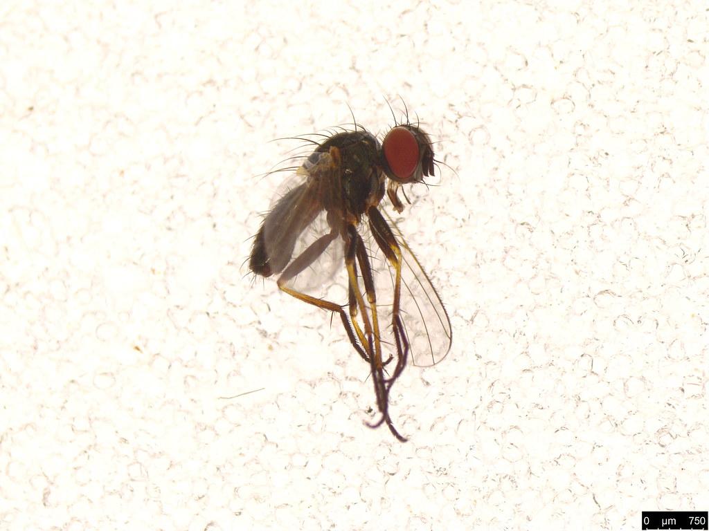 24 - Muscoidea sp.