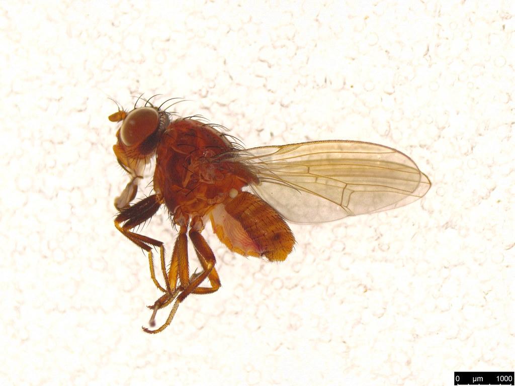 25 - Lauxaniidae sp.