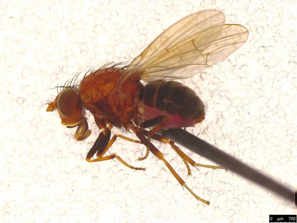 26 - Lauxaniidae sp.