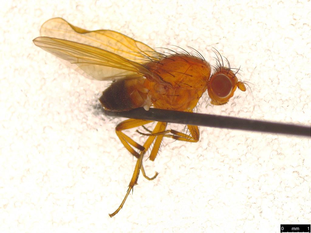 27 - Lauxaniidae sp.
