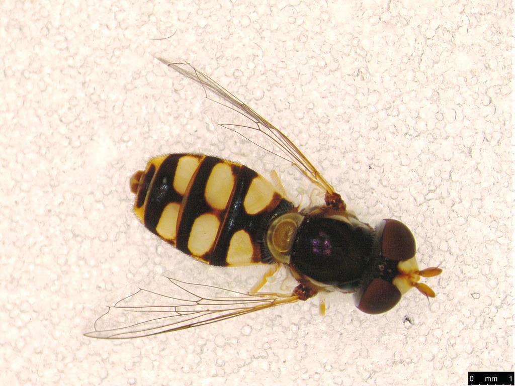 32b - Simosyrphus grandicornis (Macquart, 1842)