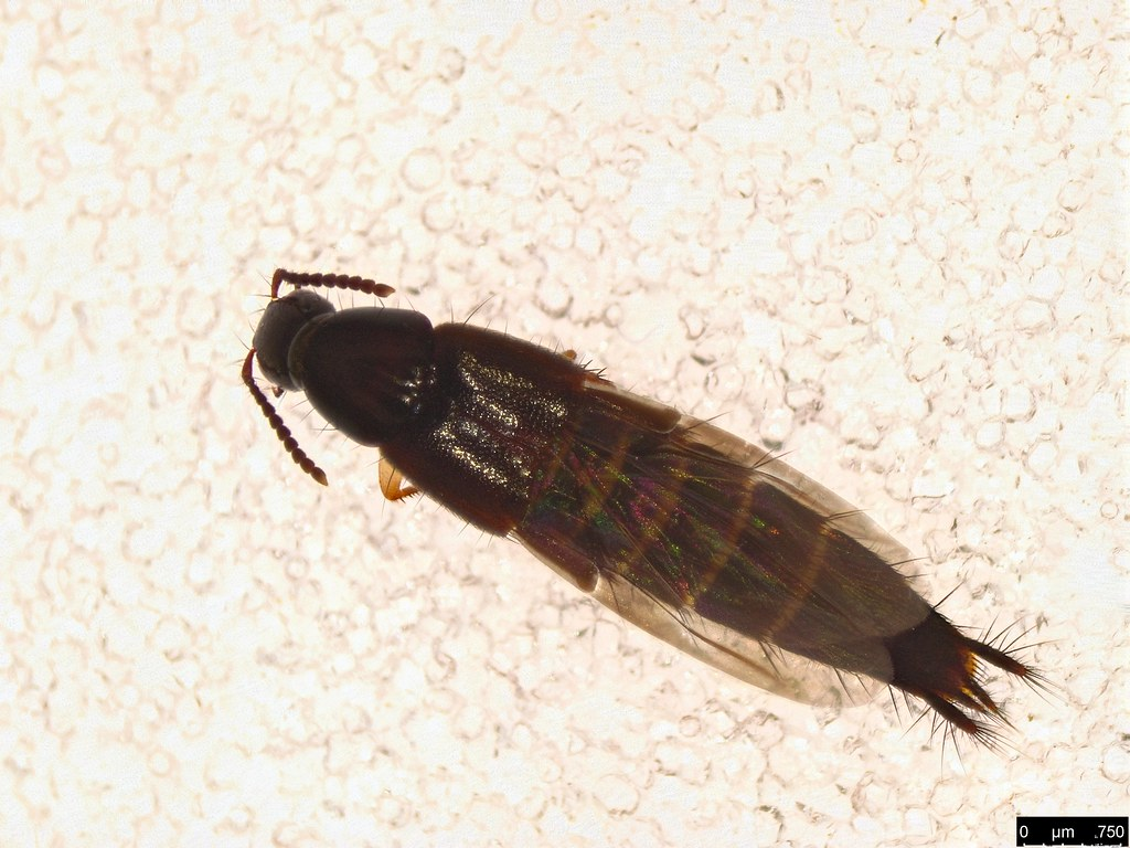 34b - Staphylinidae sp.