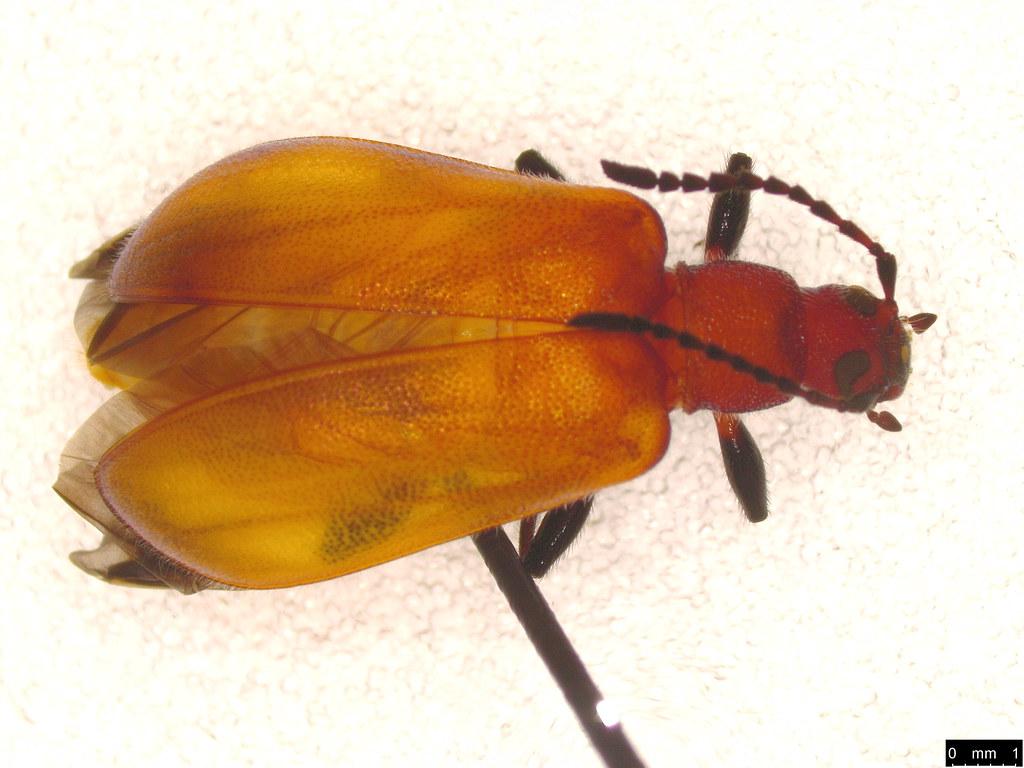 36b - Coleoptera sp.