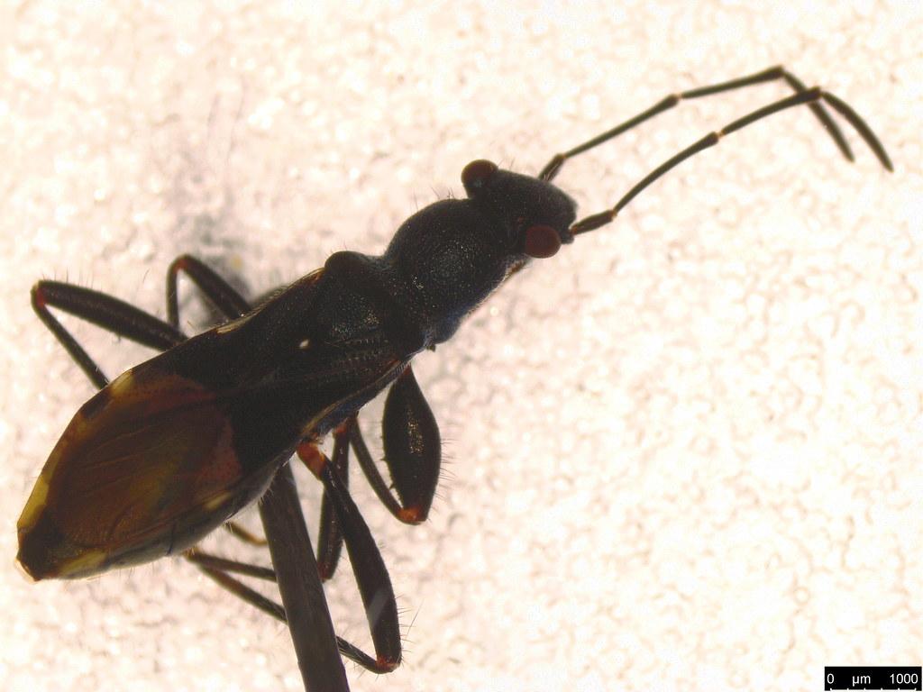 38b - Hemiptera sp.