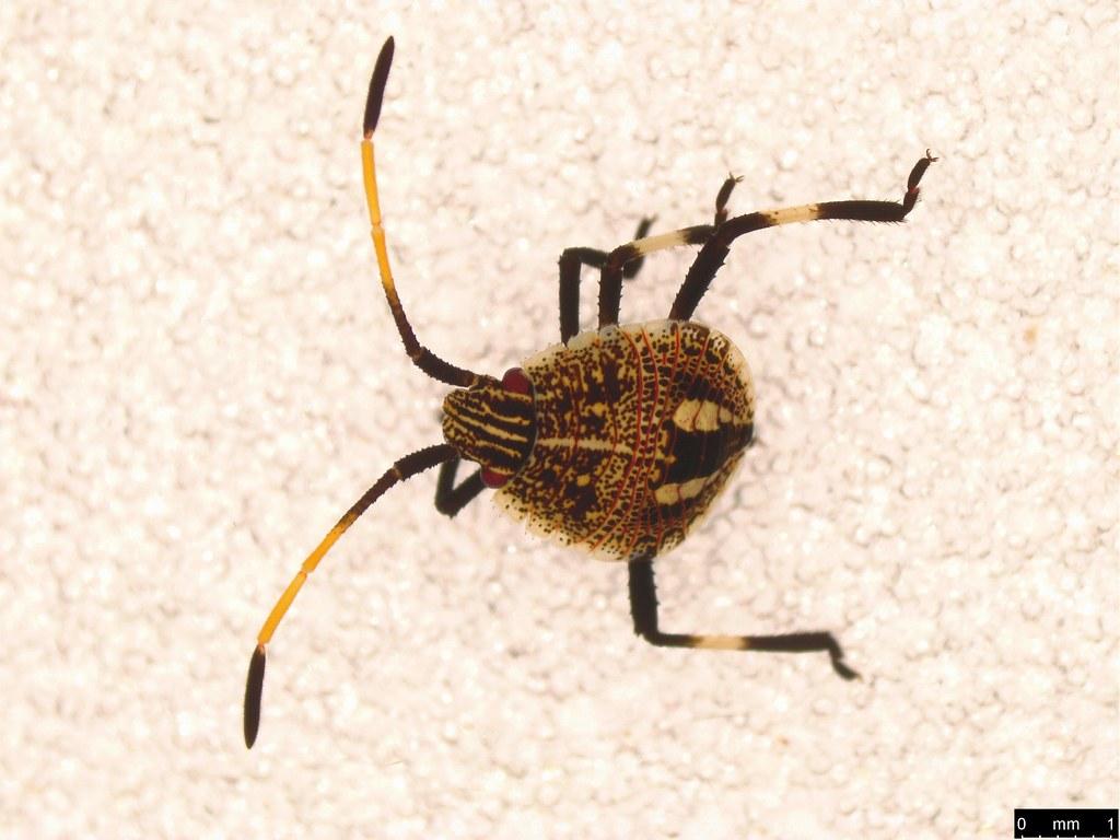 39 - Poecilometis sp.