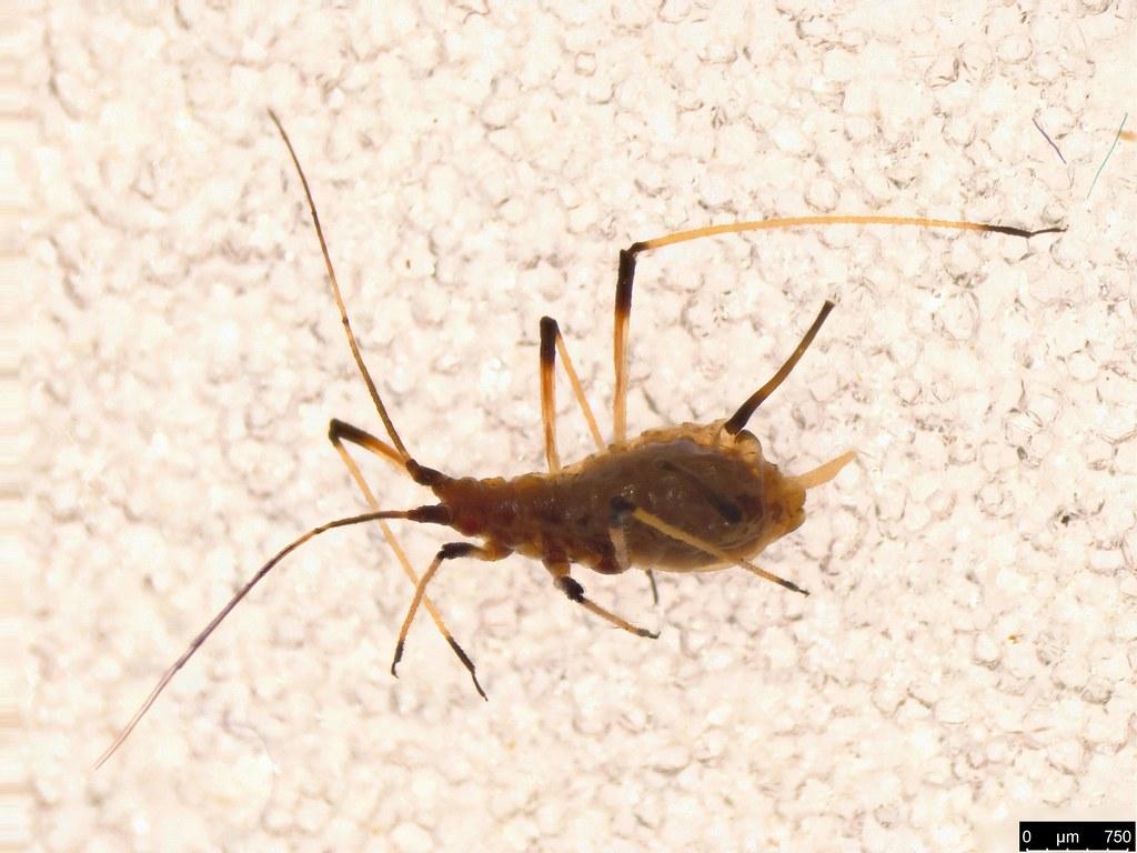 41 - Aphidoidea sp.