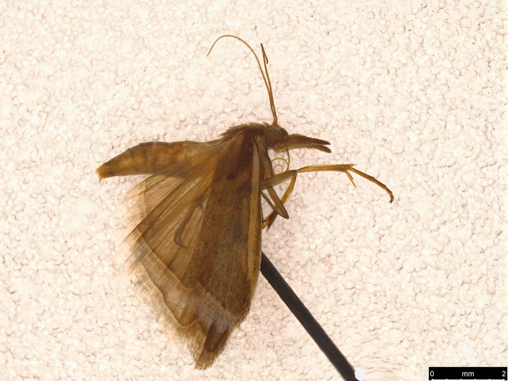 42 - Crambinae sp.