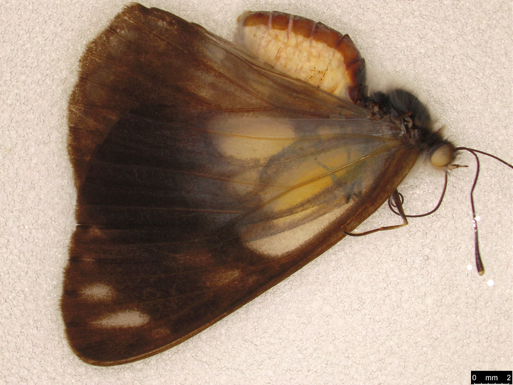 43 - Belenois java (Sparrman, 1768)