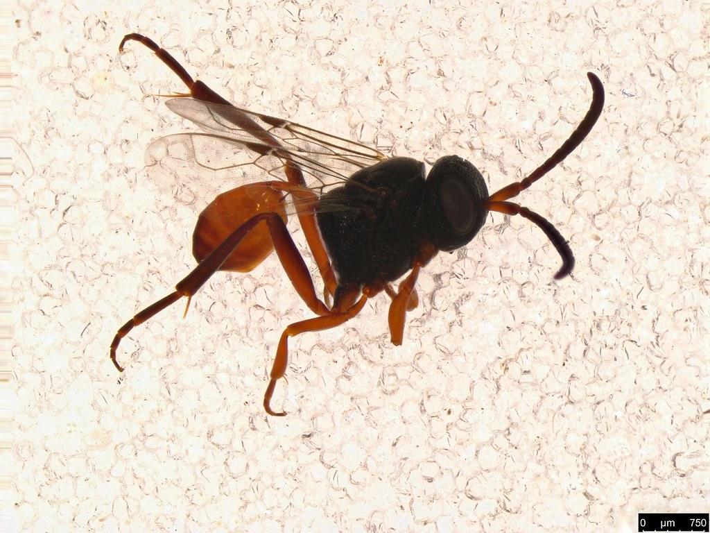 9 - Evaniidae sp.