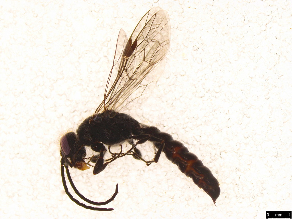 12 - Tiphiidae sp.