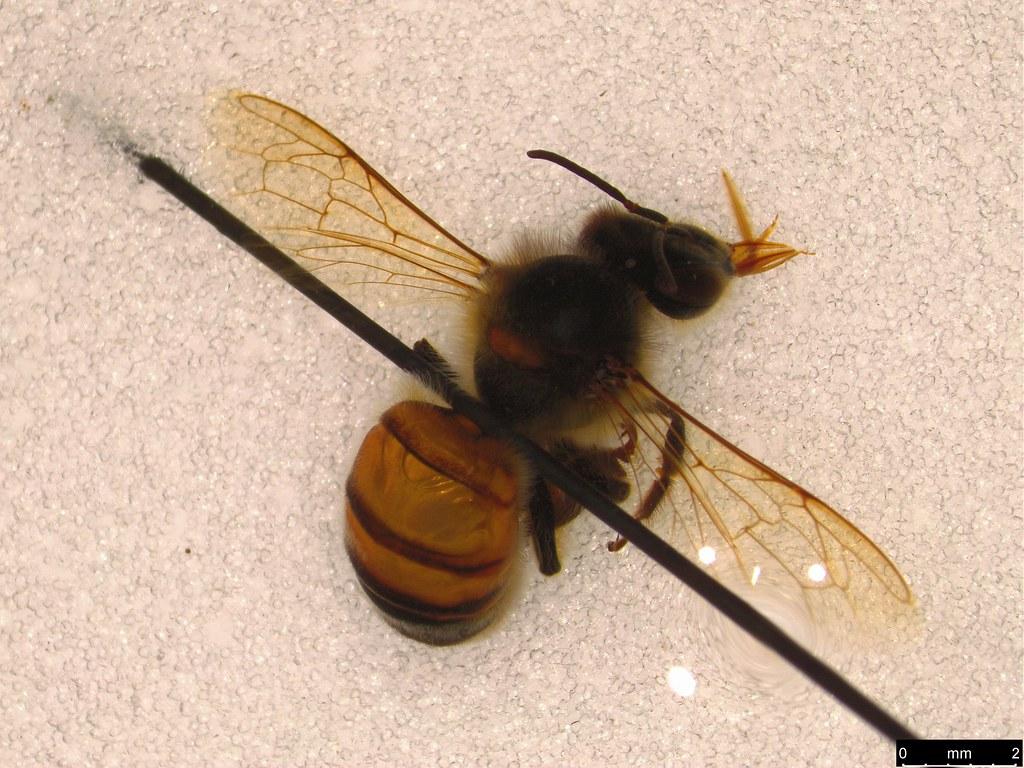 16 - Apis mellifera Linnaeus, 1758