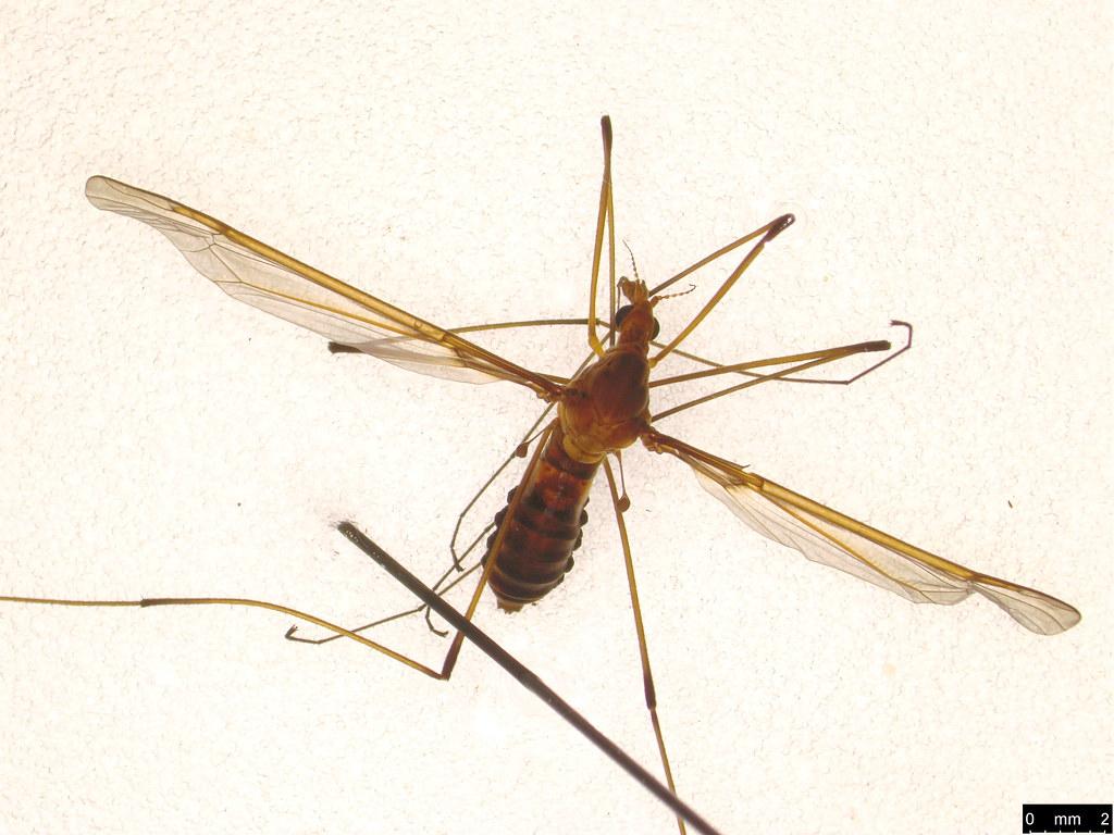 18a - Tipuloidea sp.