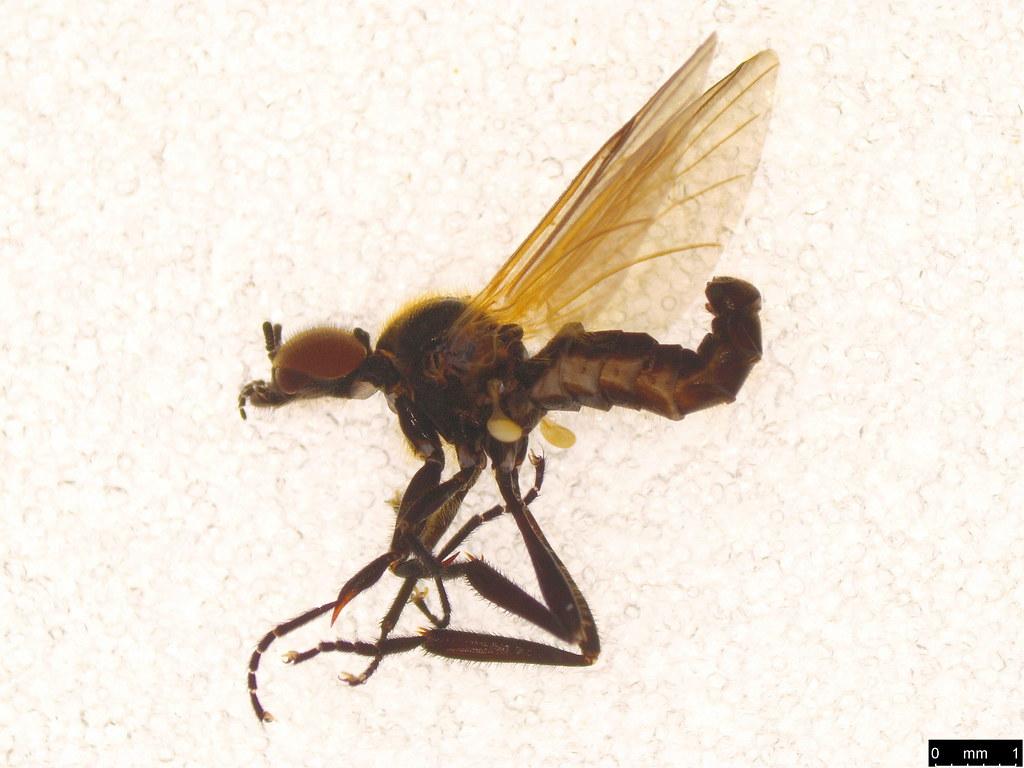 21a - Bibio imitator Walker, 1835
