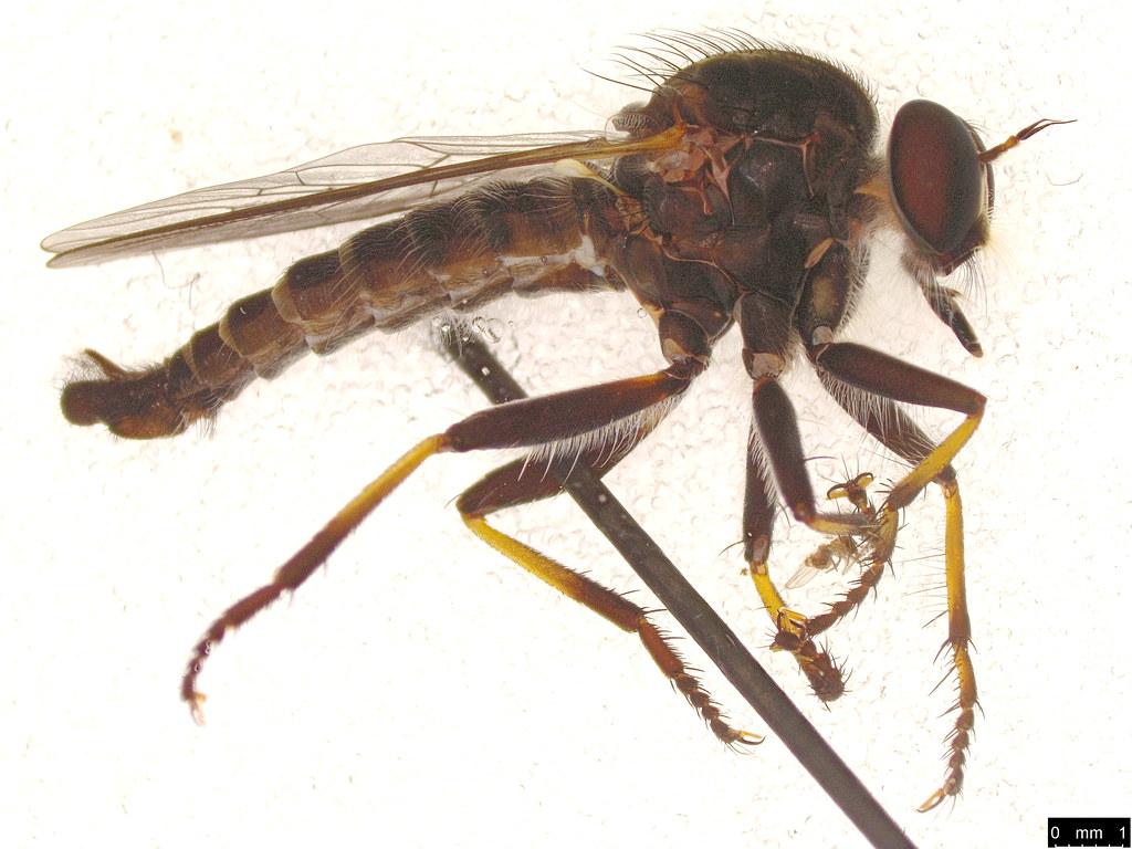 30 - Asilidae sp.