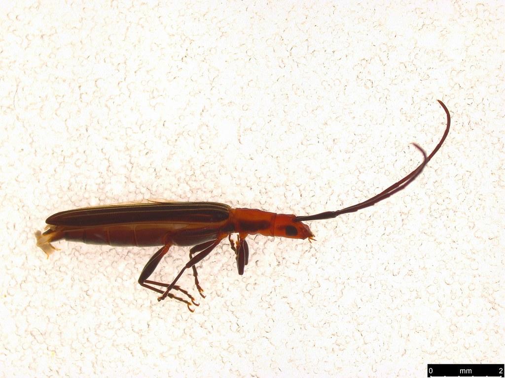 33 - Syllitus rectus (Newman,1841)