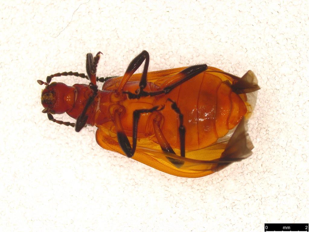 36a - Coleoptera sp.