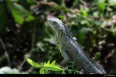 Costa Rica. Rancho Humo. Humedales DSC_2079  (由  JLCármenes