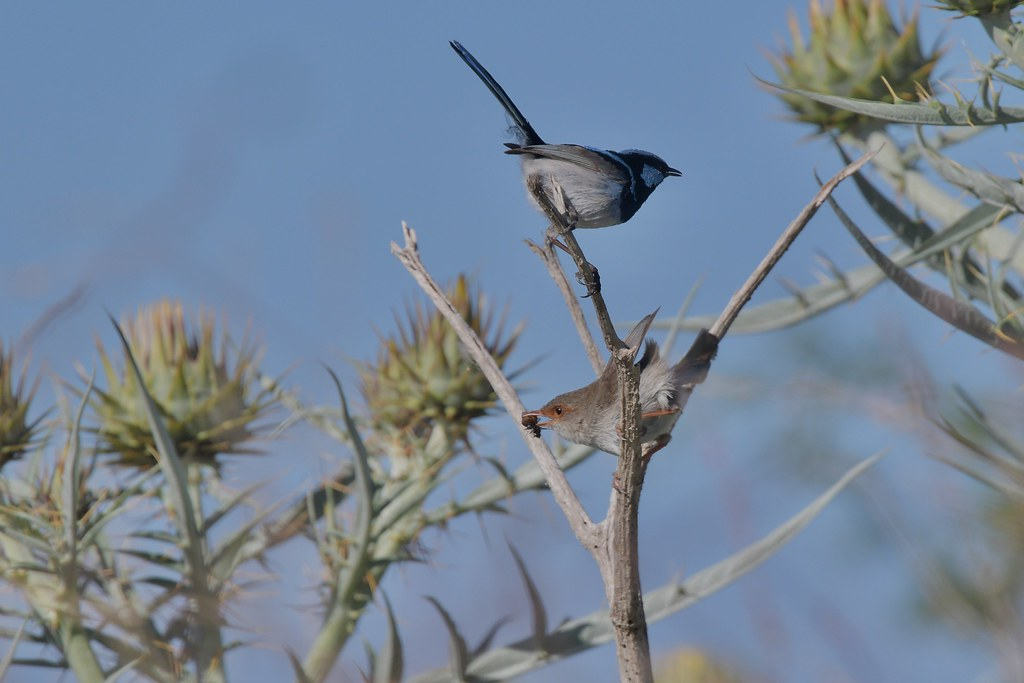 Superb Fairy -wrens ( she can catch her own )
