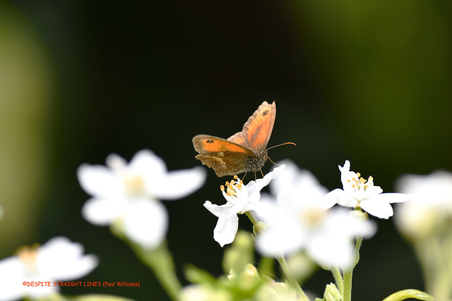 Gatekeeper (Pyronia tithonus) butterfly  -  (Published by GETTY IMAGES)